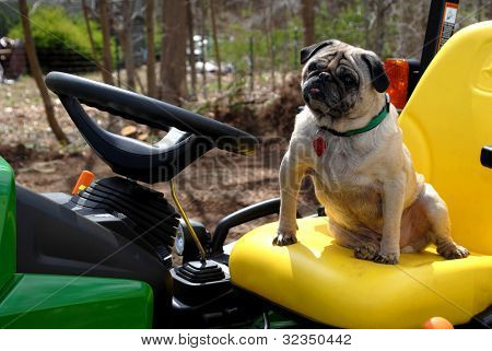 Pug Driving the Tractor