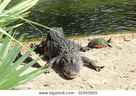 American Alligator and a Terrapin