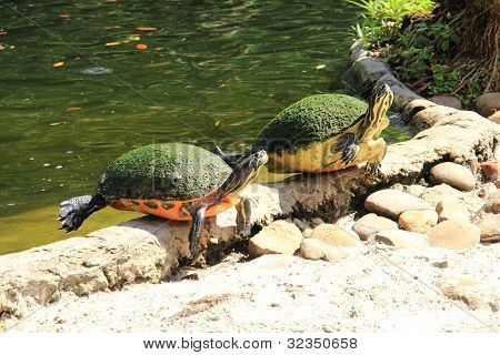 Two Terrapins