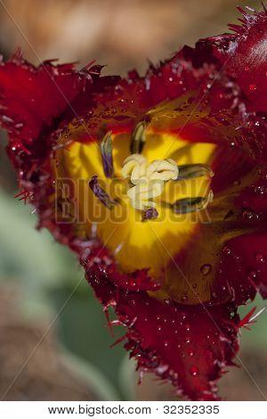 Closeup of striking tulip - shallow