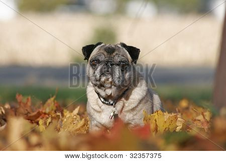 Fawn pug in fall leaves