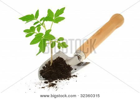 Tomato seedling on garden trowel isolated on white