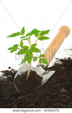 Tomato seedling on garden trowel isolated on white