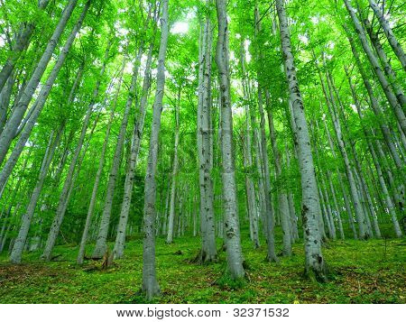 Green Trees in the Forest