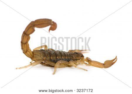 Scorpion - Hottentotta Hottentotta