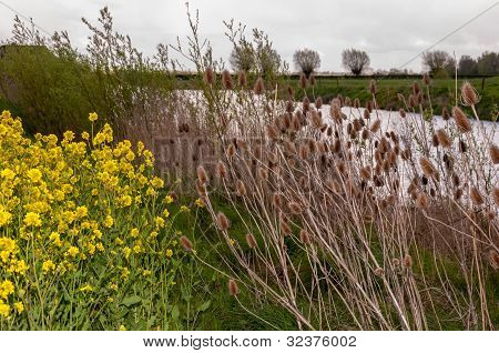 Dried Teasels And Flowering Field Mustard On The Side Of A Wide Ditch.
