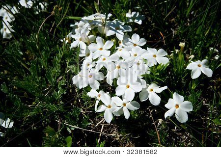 Patch Of White Flowers