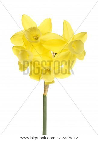 Stem Of Yellow Jonquils Against A White Background