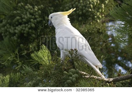 A Sulfur Crested Cockatoo On Tree.