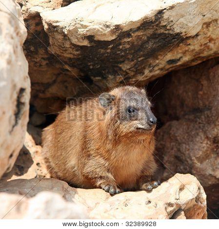 Cape Hyrax (procavia Capensis)