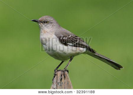 Mockingbird On A Fence