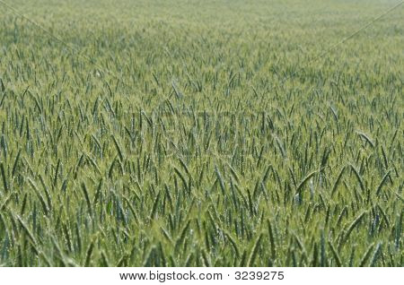 Field Of The Barley