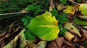 Fall Leaf With Yellow Veins On Green Foliage Surface Closeup. Top View Of Green Leaf Among Dried Bro poster