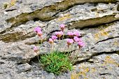 Thrift (Armeria maritima) on rock, Ireland, Burren region