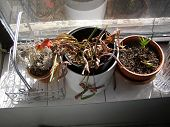 stock photo of potted plants  - dead plants in a window sill - JPG