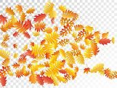 Oak, Maple, Wild Ash Rowan Leaves Vector, Autumn Foliage On Transparent Background. Red Orange Gold  poster