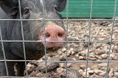 Black Cute Pig With A Pink Snout Nose Behind The Metal Mesh Fence In The Country Farm, Copy Space poster