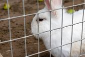 Domestic Furry White Farm Rabbit Bunny In Cage At Animal Farm. Livestock Food Animals Growing In Cag poster