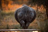 image of rear-end  - SOUTHERN WHITE RHINOCEROS  - JPG