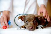 Woman Veterinarian Examining Health Of Spitz Dog In Clinic poster