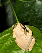 Captive Asian Yellow Tree Frog On Leaf. poster