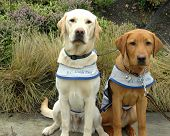 foto of seeing eye dog  - british columbia guide dogs in training - JPG