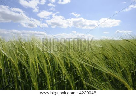Green Cornfield  New