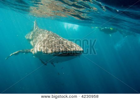 Whalesharks At Ningaloo Reef