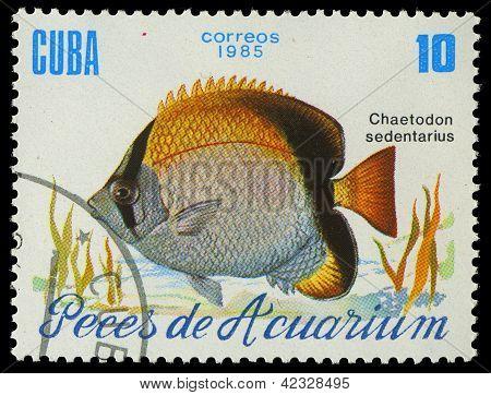Cuba-circa 1985: A Stamp Printed In Cuba Shows Fish Chaetodon Sedentarius, Circa 1985