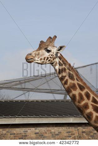 giraffe in the zoo