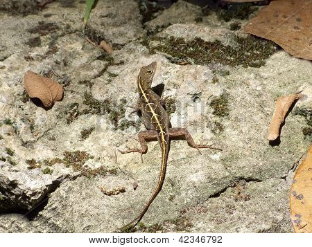 Female Brown Anole Lizard