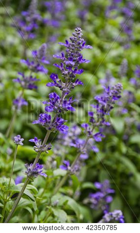 Mealycup Sage Blossom