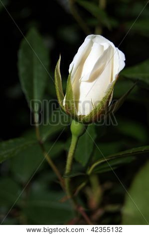 Close Up Of White Rose Bud