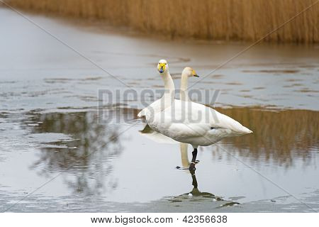 Whooper swan standing in a frozen lake in winter