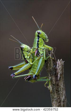 Two Grasshopper  Having Sex