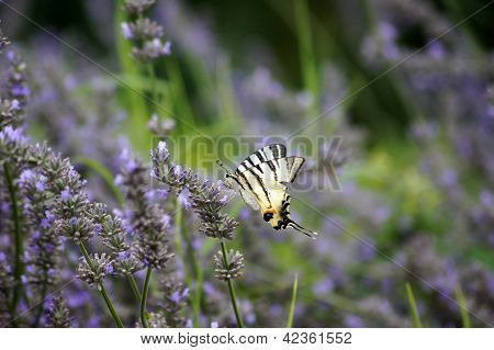 Butterfly Papilio Machaon In Lavander Field