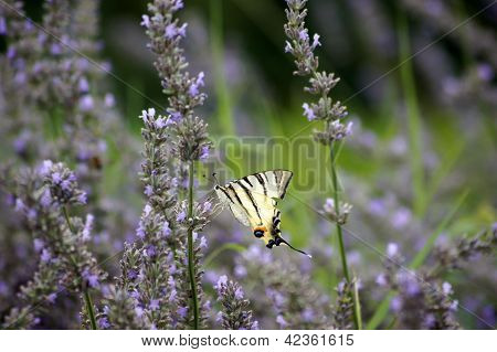 Butterfly Papilio Machaon In Lavender Field