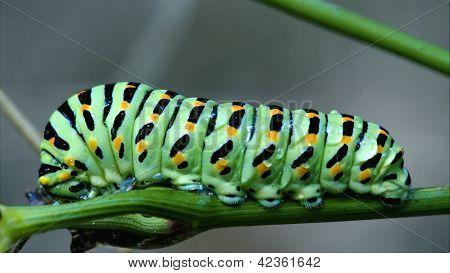 Wild Raupe Papilio