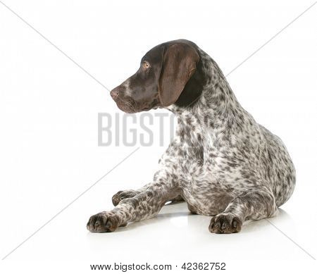 german shorthaired pointer sitting looking off to the side isolated on white background