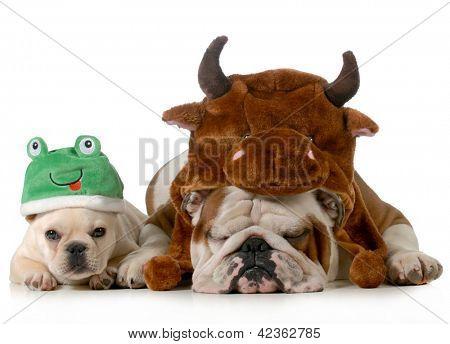 bulldog inglés y bulldog francés se visten como Toro y rana aislado sobre fondo blanco
