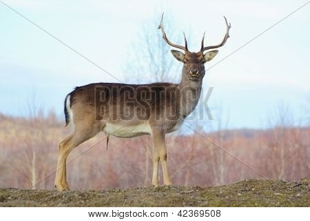 Big Deer Buck