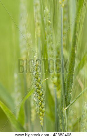 Common Wheat, Triticum Aestivum
