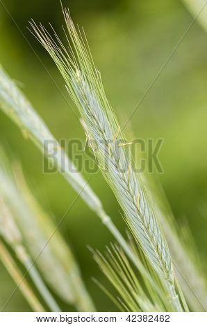 Rye (secale Cereale) Wheat Spike