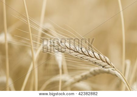 Triticum Turgidum Rivet Wheat