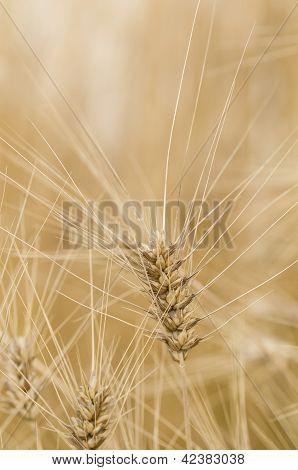 Durum Macaroni Wheat, Triticum Aestivum