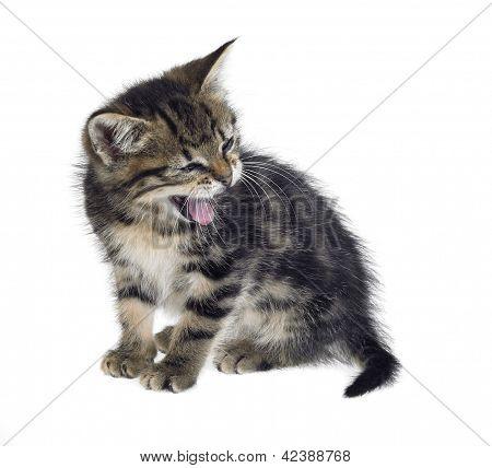 Kitten Yawn