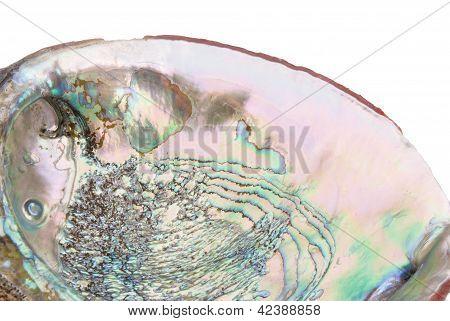 Abalone Shell Inside