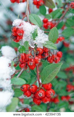 Red Guelder-rose Under Snow And Ice