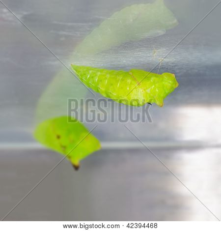 Pupae Of Tailed Jay (graphium Agamemnon Agamemnon) Butterfly