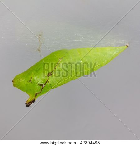 Pupa Of Tailed Jay (graphium Agamemnon Agamemnon) Butterfly